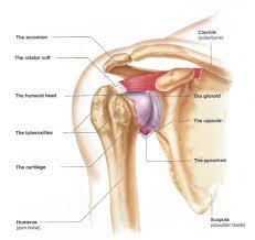 Human Shoulder Diagram How The Shoulder Works Dr Skedros Orthopaedics