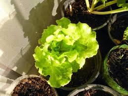7 vegetables that can grow well in 1 gallon containers greens