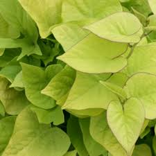 29 best chartreuse plants images on proven winners