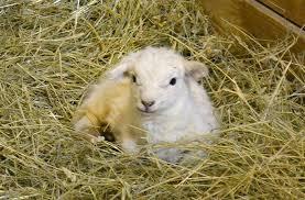 rescue sheep have surprise babies at lollypop farm