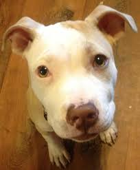 american pitbull terrier jaw training a pitbull to not bite thriftyfun