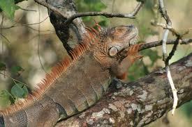 imágenes de iguanas verdes iguana verde foundation tree house lodge