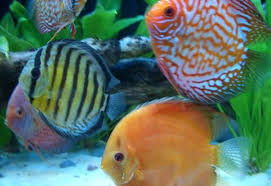 improving color in aquarium fish ratemyfishtank