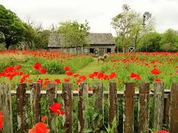 poppies paint castroville red san antonio express news