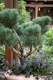 Rosemary Topiary Dwarf Scotch Pine Monrovia Dwarf Scotch Pine