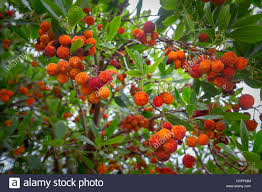 berries on a strawberry tree arbutus unedo an evergreen shrub