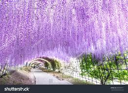 japan flower tunnel wisteria tunnel kawachi fuji garden fukuoka stock photo 680355811