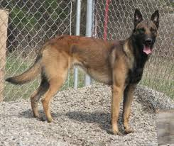 belgian shepherd malinois for sale malinois puppy colour page 1