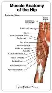 Picture Of Human Knee Muscles Overview Of A Groin Pull Injury