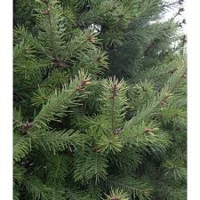 douglas fir christmas tree fresh cut douglas fir christmas tree for sale garden goods direct