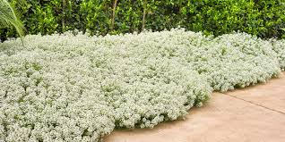 Shrub With Fragrant Purple Flowers - 10 most fragrant outdoor flowers best smelling plants for garden