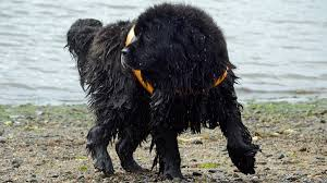 Great Dane Home Decor Big Gentle Dogs