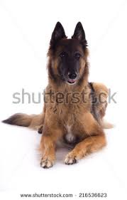belgian sheepdog tervuren belgian shepherd dog stock images royalty free images u0026 vectors