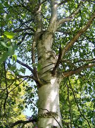 native hedging plants uk silver birch native trees approx 120cm 4ft hedges betula pendula