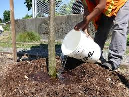 summer watering for newly planted trees city green the