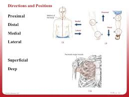Planes And Anatomical Directions Worksheet Answers 1 Navigating The Diagrams Week 1