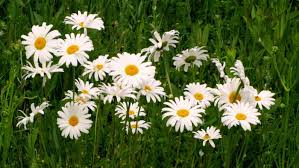 when do daisies bloom reference com