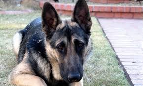 australian shepherd ear types dog ear shapes and types