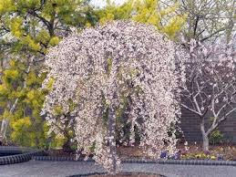 7 best flowering trees images on cool stuff curb