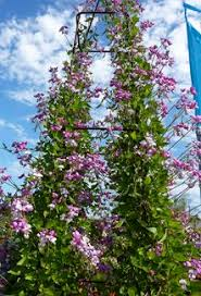 everlasting sweet pea the best annual vines for your garden pergolas and gardens