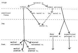 Foot Anatomy Nerves 104 Jpg