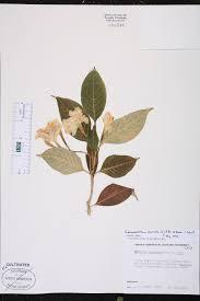 tabernaemontana divaricata species page isb atlas of florida