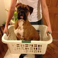 boxer dog vine cooper the boxer cooper theboxer twitter
