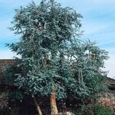 silver drop eucalyptus eucalyptus seeds eucalyptus cinerea silver dollar seed