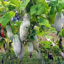 shop ornamental plant pumpkin seeds melon mice edible