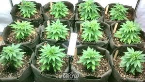 best light for weed seedlings 12 secrets to successful marijuana cloning