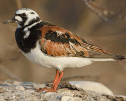 ruddy turnstone audubon field guide