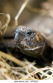 Tortoise Bedding Tortoise Reptile Hibernation Stock Photos U0026 Tortoise Reptile