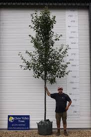 ornamental pear pyrus calleryana chanticleer chew valley trees