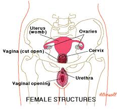 Female Anatomy Diagram For Kids Medical Definition Of Reproductive Organs Female