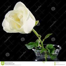 white rose in glass vase royalty free stock photo image 27638145