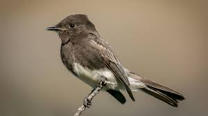 dapper black phoebe thrives on insects in flight the san diego
