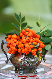 bellagio buffet thanksgiving 37 best pyracantha images on pinterest nature christmas ideas
