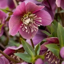 buy hellebore helleborus purpurascens delivery by waitrose garden
