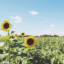 Homestead Fl Map Homestead Homestead Florida Sunflower Fields Forever