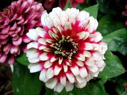Zinnia Flower Z I N N I A Flowers Youtube