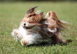 pictures of shorkie dogs with long hair shih tzu long haired shih tzu running on grass sweet shih tzu