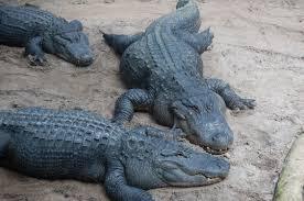 Alligators In Georgia Map Florida Travel Floridaculture