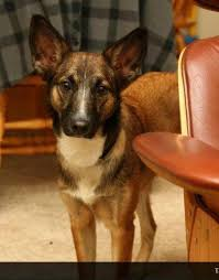 belgian sheepdog mix puppies leia belgian shepherd malinois cattle dog mix adopted flickr