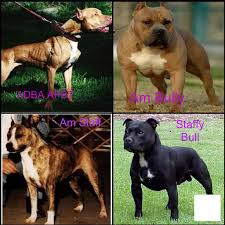 american pitbull a terrier difference in amstaff and apbt pitbulls go pitbull dog forums