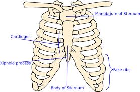 labelled rib cage clip at clker com vector clip