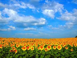 foto wallpaper bunga matahari 30 wallpaper bunga cantik deloiz wallpaper