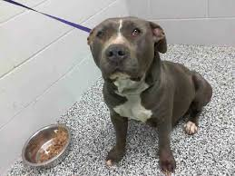 2 month old american pitbull terrier urgent pregnant and on death row mariah id a460778 must exit