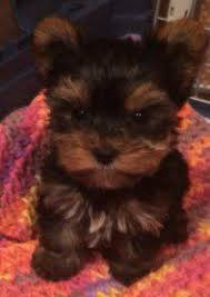 tea cup yorkie hair cuts yorkie names for male and female yorkshire terriers