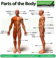 Anatomy Of Human Body Pdf 3d Human Body List Of Bones Human Anatomy Body