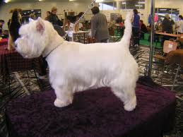 images of westie hair cuts difference between stripping and clipping
